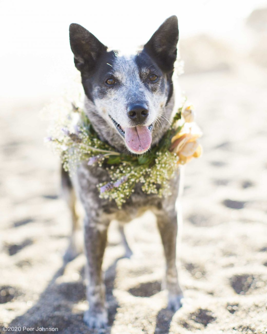 cambria wedding dog